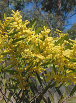 Wattle you do on National Wattle Day the 1st of September 1