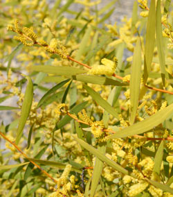 Wattle you do on National Wattle Day the 1st of September 2